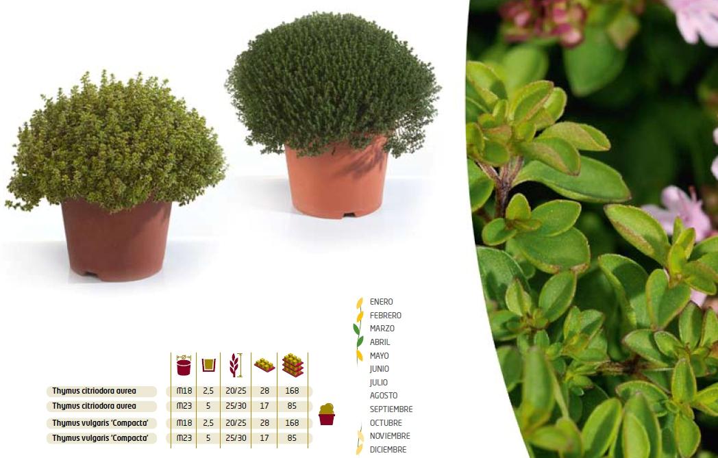 Dipladenia vivers sendra sl 46613 llaur valencia spain for Produccion de plantas ornamentales